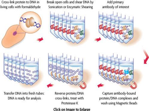 ChIP-IT® Express 染色質免疫沉澱試劑組
