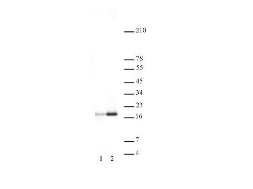 Histone H3ac (pan-acetyl) antibody (pAb)