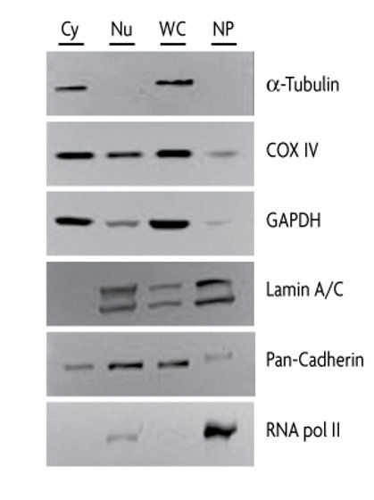 Active Motif 細胞核萃取試劑套組