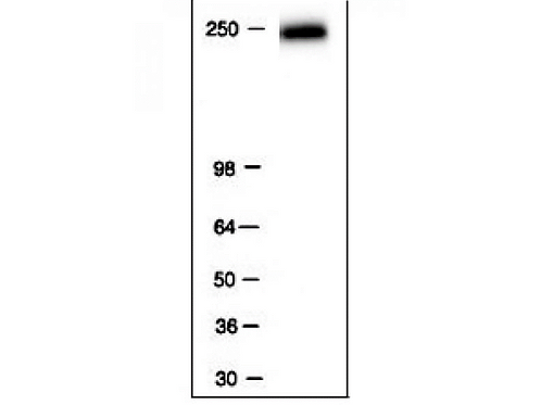 RNA pol II antibody (mAb)