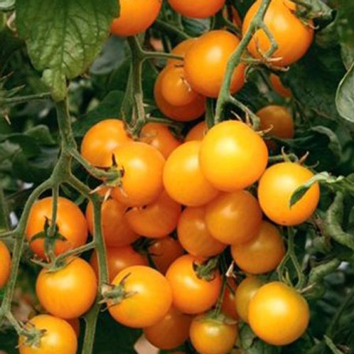 Tomatplanta Naranja