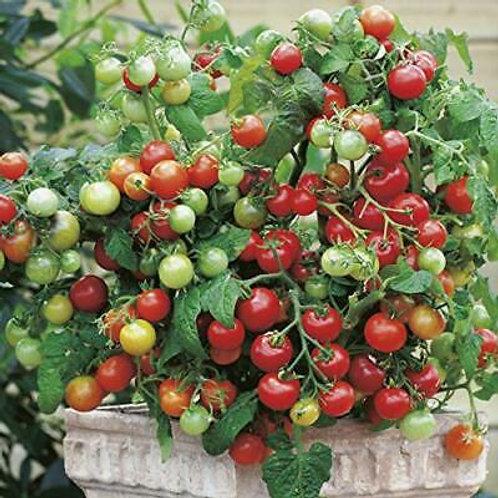 Tomatplanta Tiny Tim