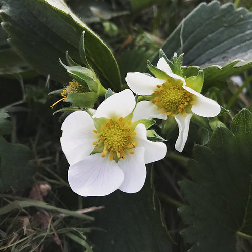 Ekologiska jordgubbsplantor enstaka