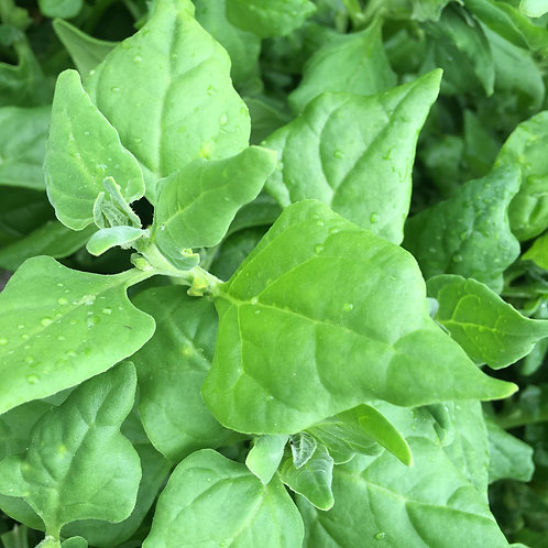 Nyzeeländsk spenat - planta