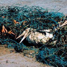 Marine debris entanglement in seabirds