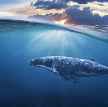 Humpback whales: singers of the sea