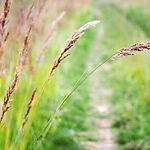 Red-fescue-grass.jpg