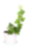 ivy pot.png