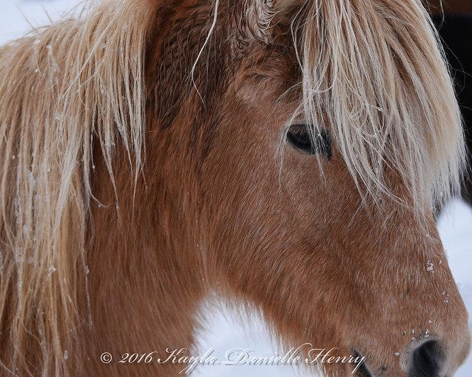 Palemino Icelandic Horse