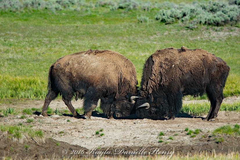 Bison Duel