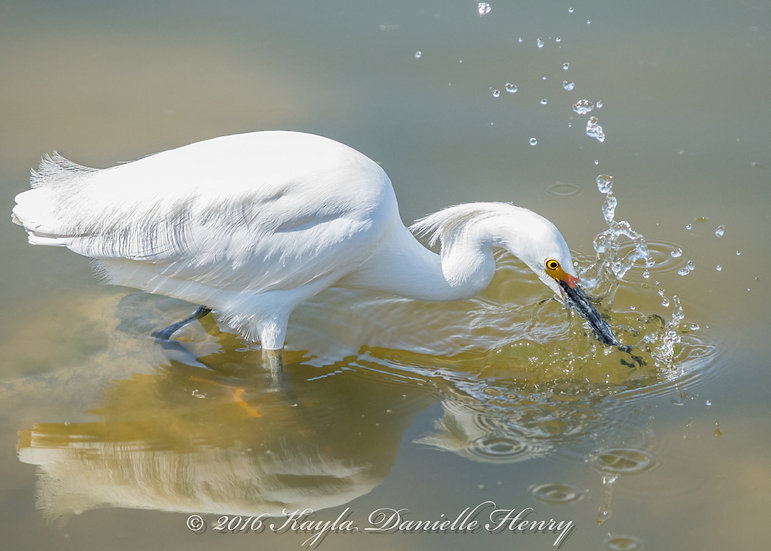 Egret Splash