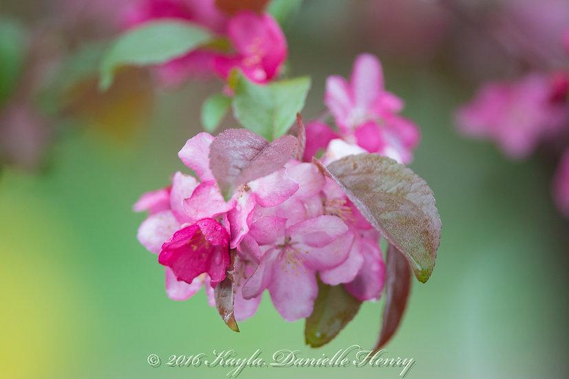 Rainy Blossoms
