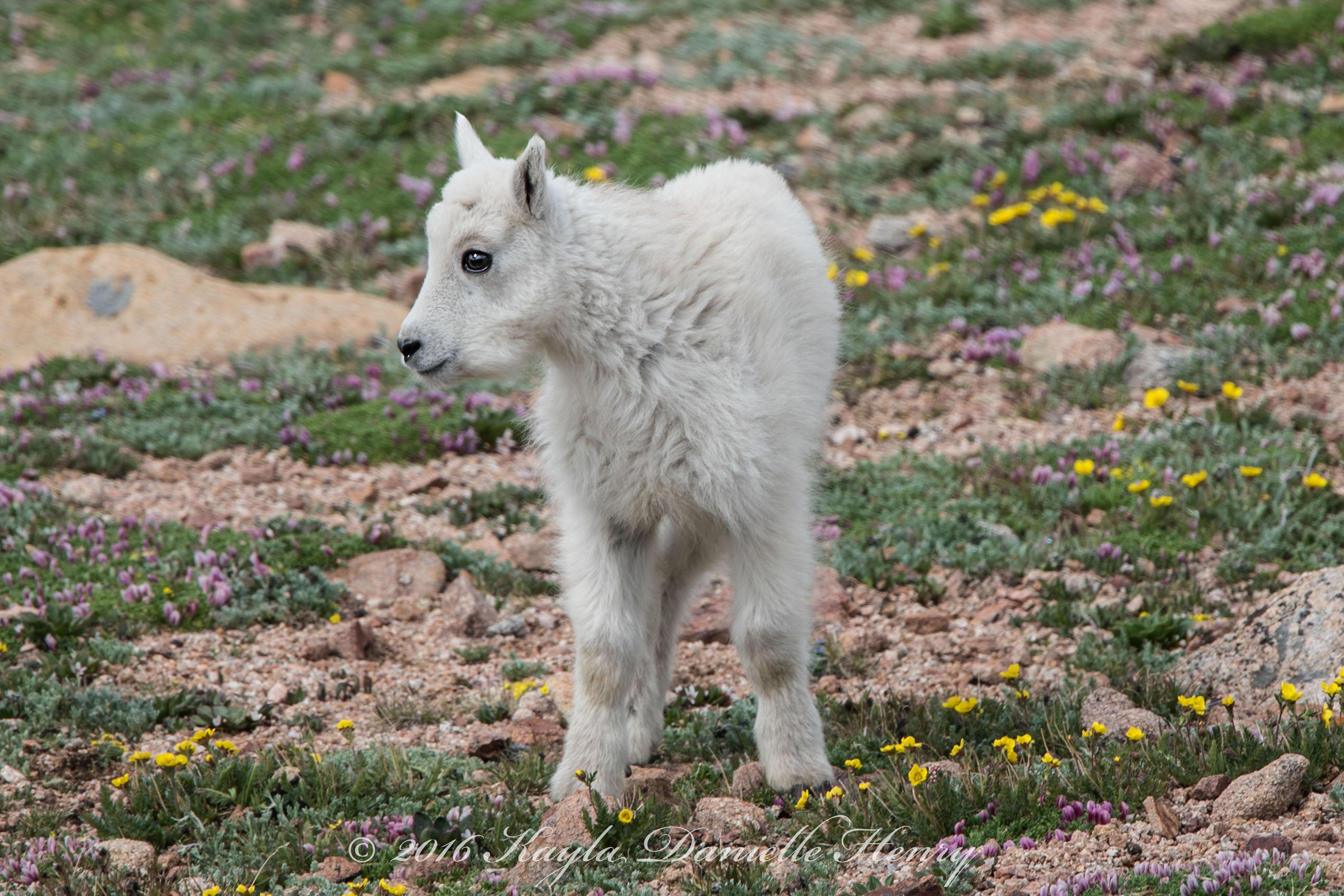 Baby Goat DSC_4405 30x20-Quick Preset_5820x3880