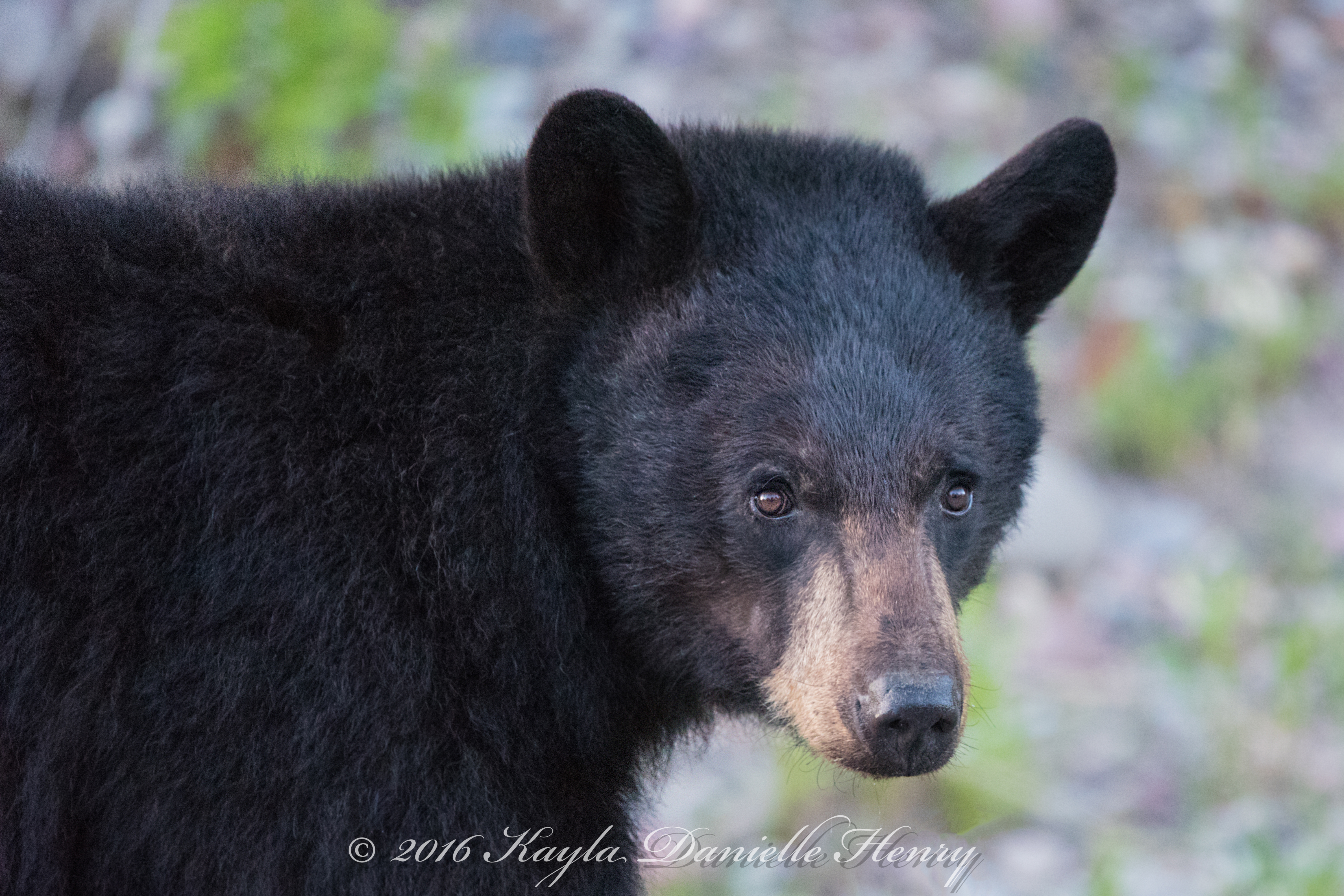 Black Bear Close Up DSC_1661 30x20 canvas-Quick Preset_4759x3173