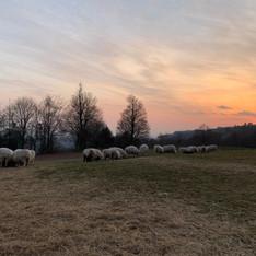 sheep and sunset.jpg