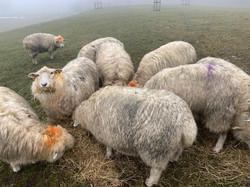 breeding flock in the rain