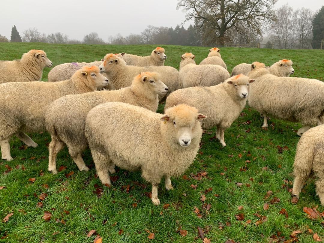 breeding flock