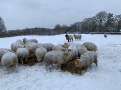 breeding flock in snow