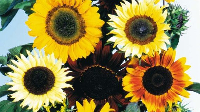 10 Week Sunflower Bouquet Subscription - 2021