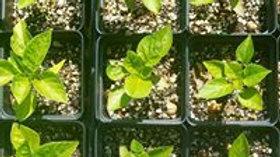 Pepper Plant Start Pre-Order
