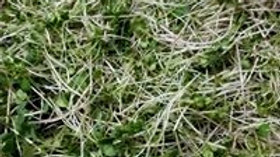 Microgreens Mix Tray; 10 day turnaround time
