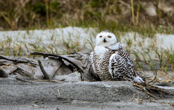 Rare Florida Sighting - Snowy Owl
