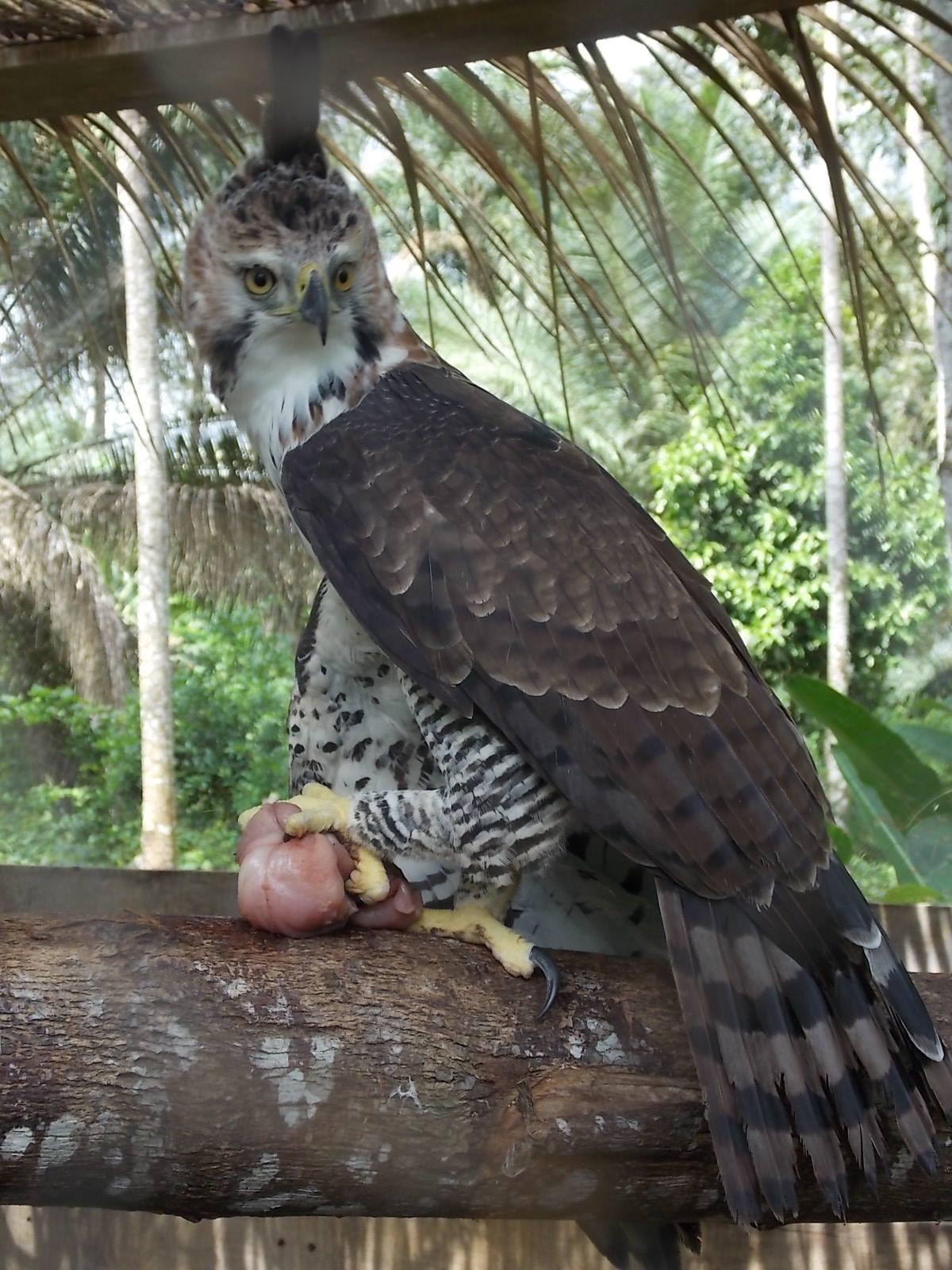 A well fed eagle