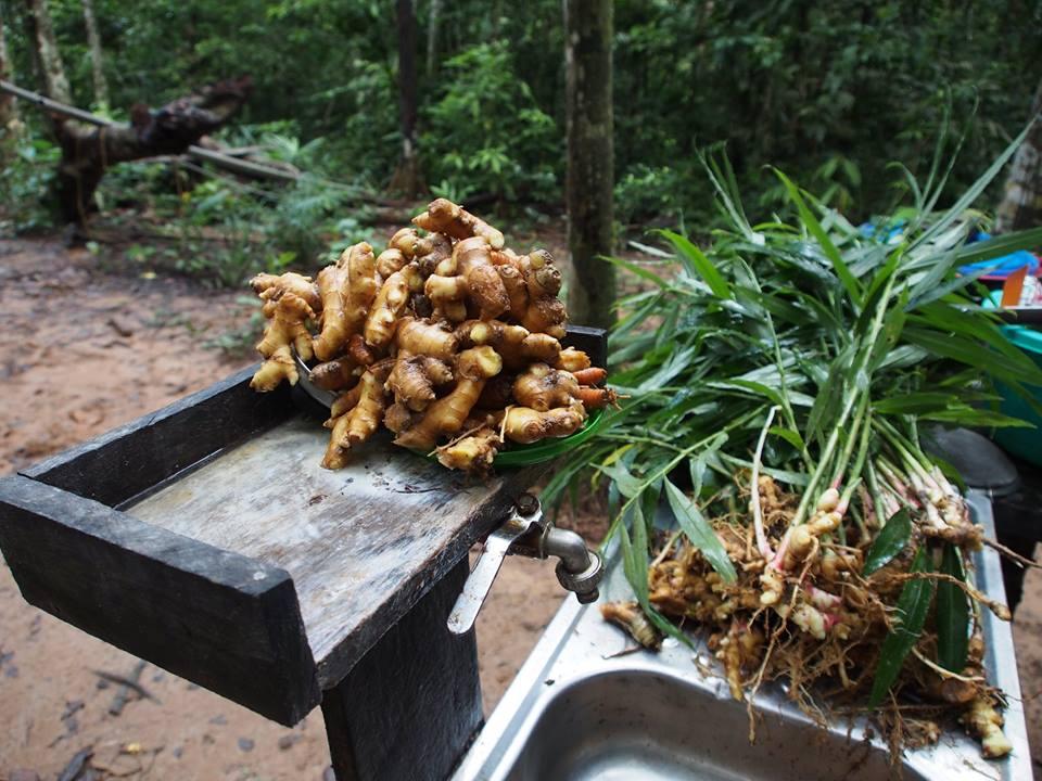 ginger harvest - cosecha de gengibre