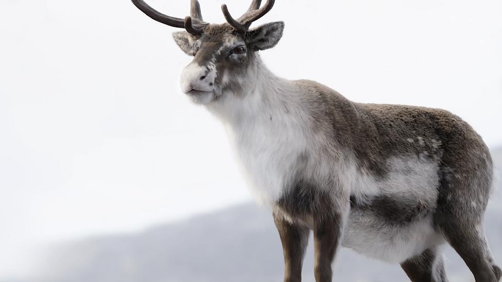 reindeer_01_mod.png