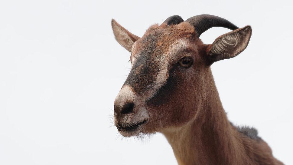 goat4_mod.jpg