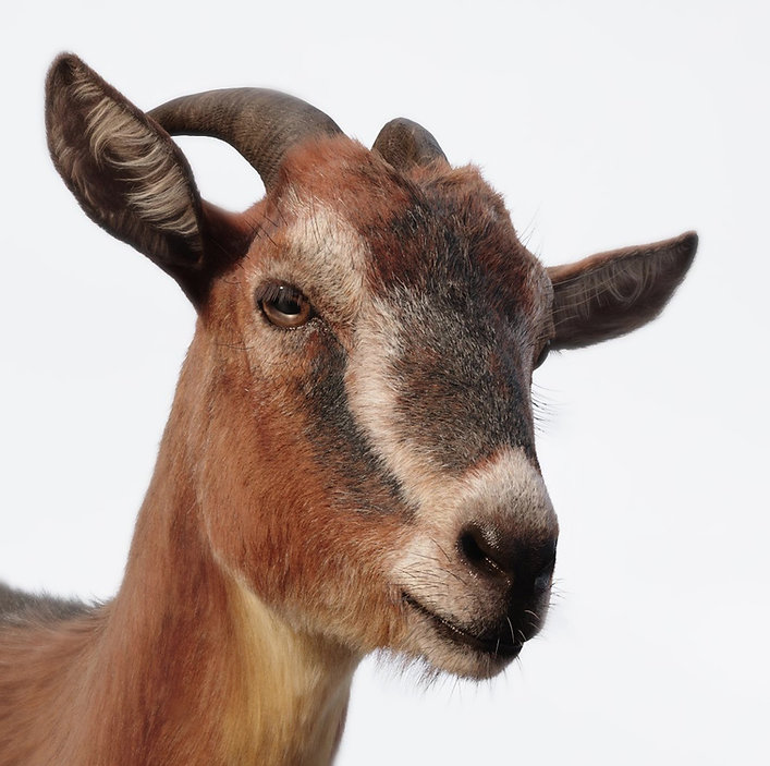 goat2_mod.jpg