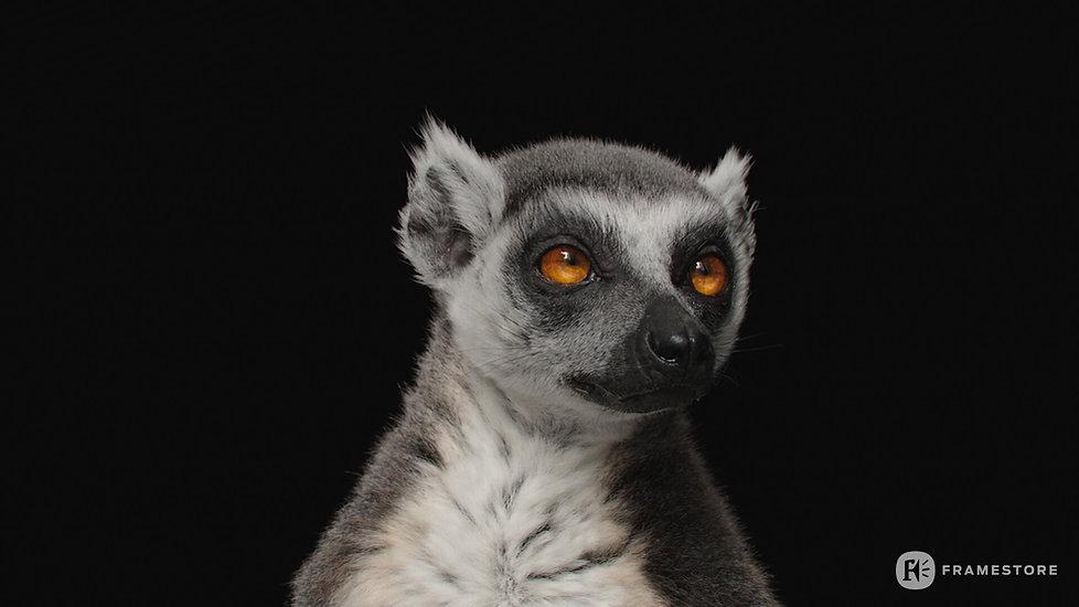 joel-best-lemur-headstills-1002.jpg