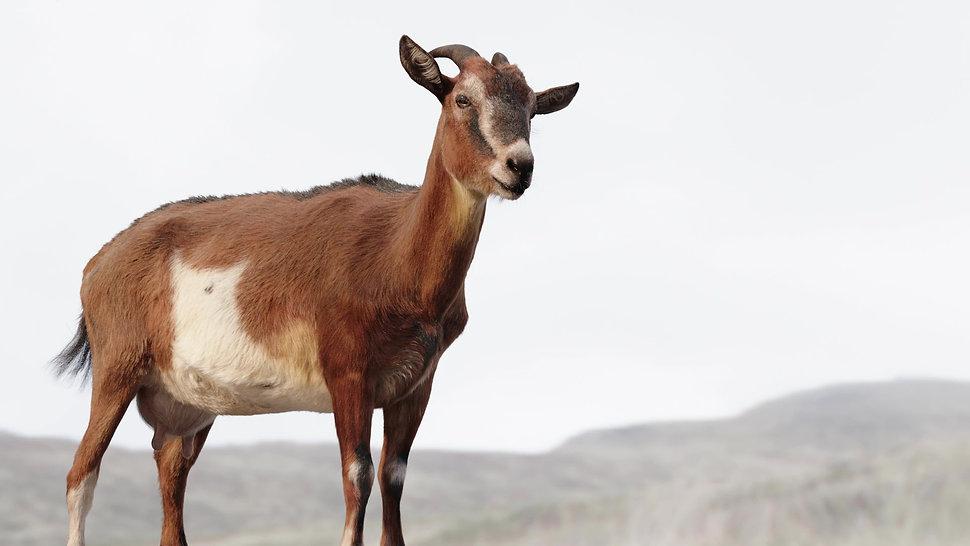goat1_mod.jpg