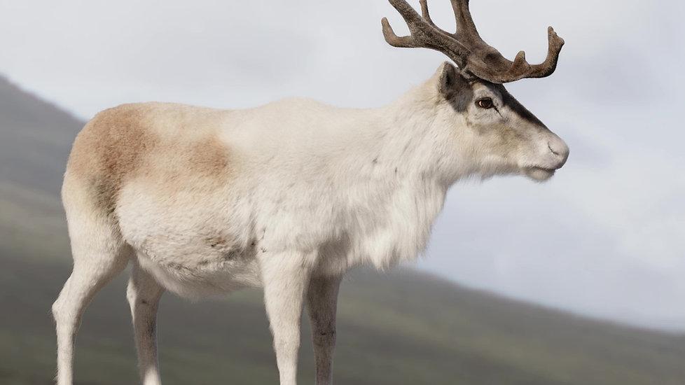 reindeer_06_mod.jpg