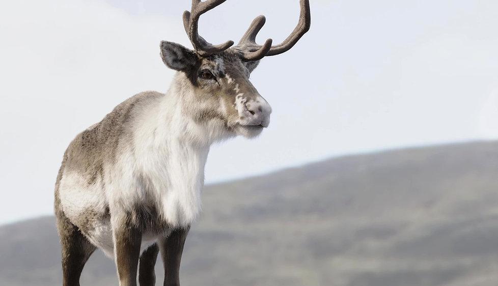 reindeer_02_mod_edited_edited.jpg