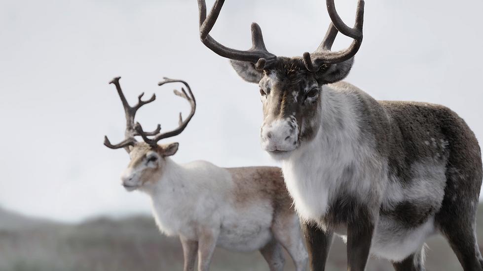 reindeer_04_mod.png