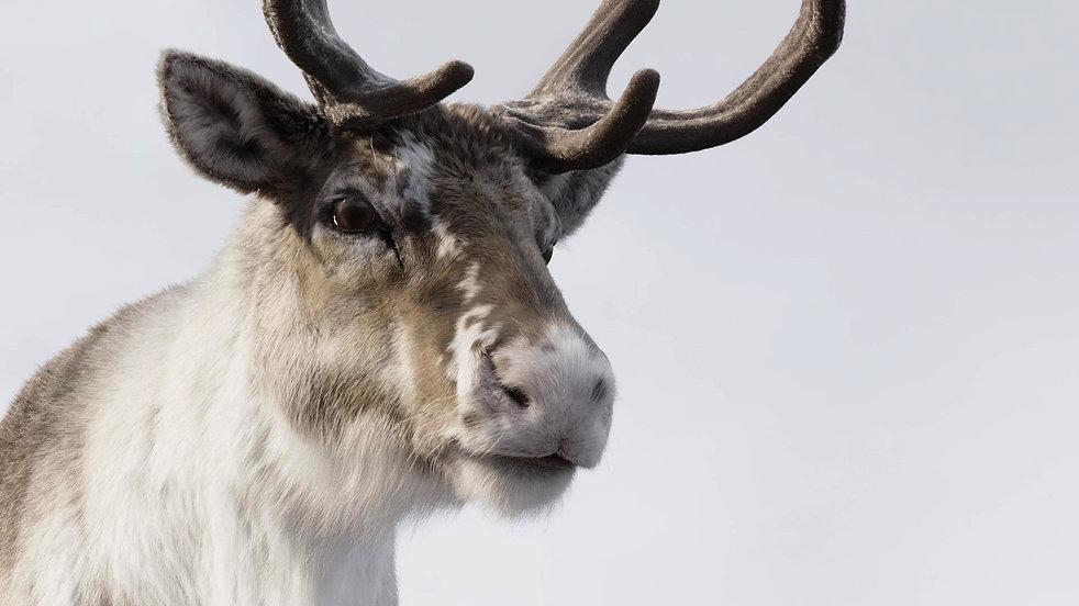 reindeer_05_mod.jpg