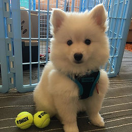 Who can guess what breed this cute ball