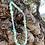 Thumbnail: Grigri Baby Mint large