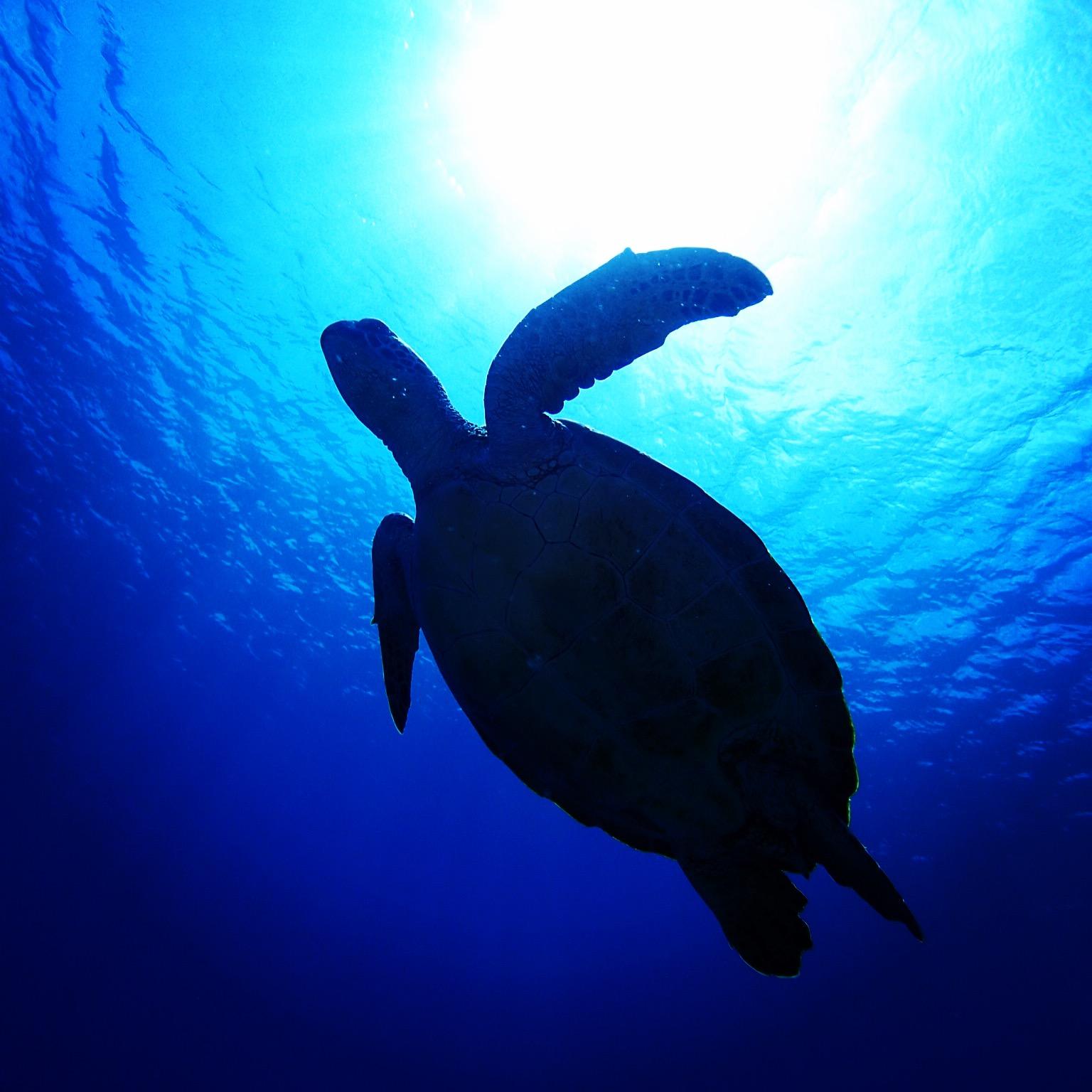 チービシアオウミガメ