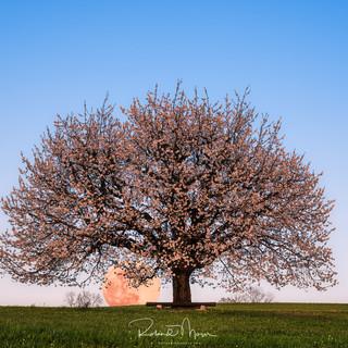 Kirschblütenmond