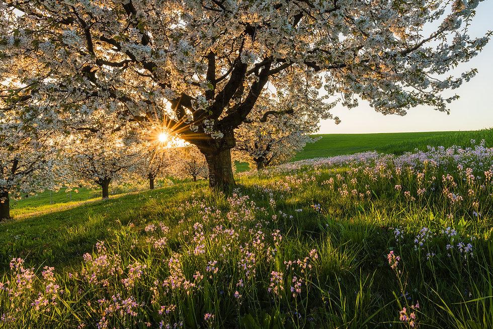 Kirschblueten-Baselland.jpg
