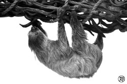 Climbing Sloth II