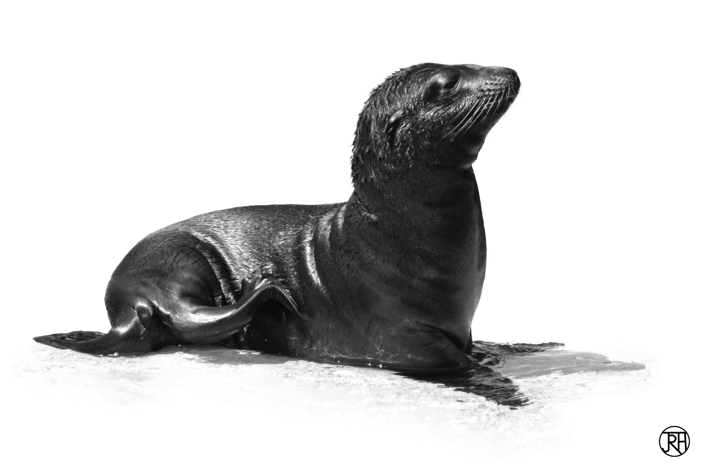 Baby Sealion