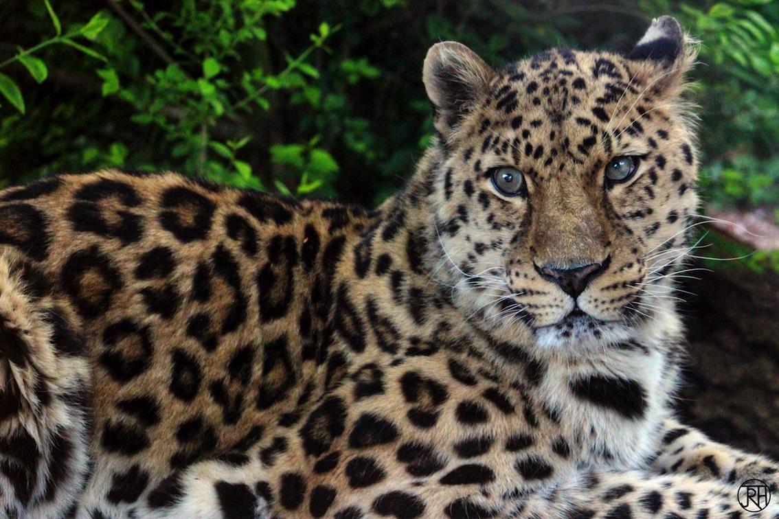 Amur Leopard I