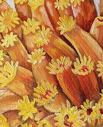 Tubastraea Sun Coral 2.jpg