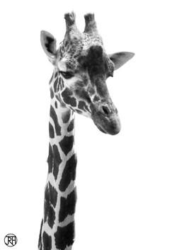Giraffe Portrait