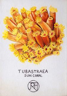 Tubastraea Sun Coral