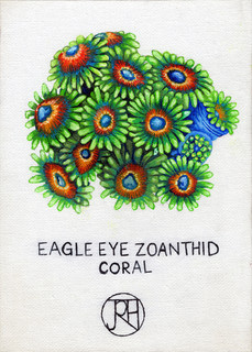 Eagle Eye Zoanthid