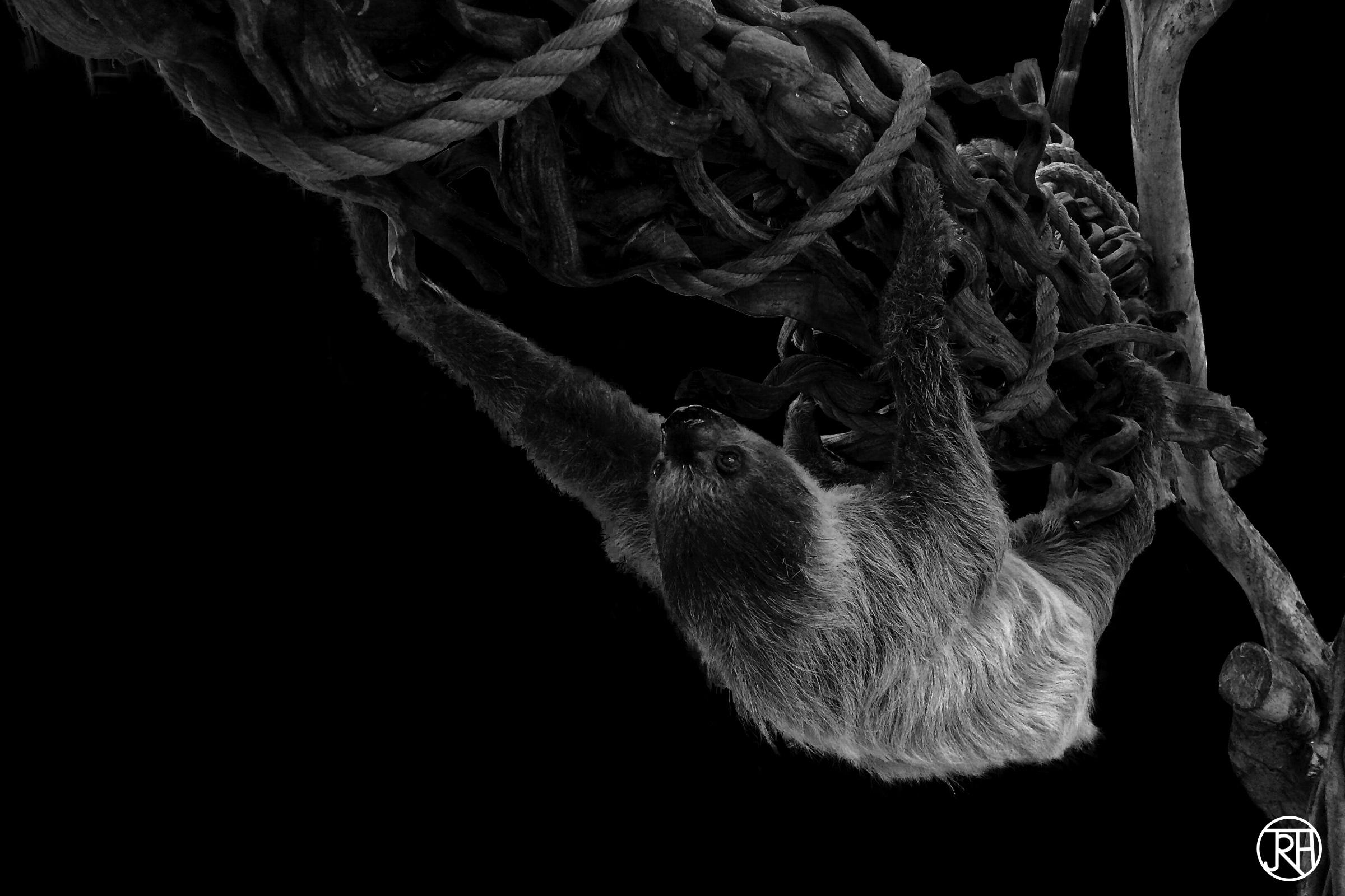 Climbing Sloth I